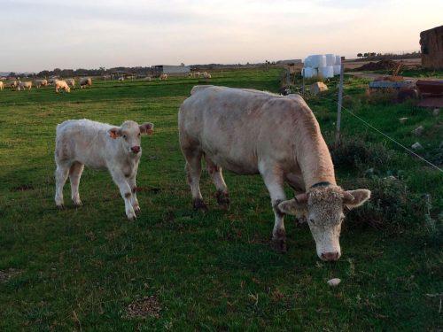 Vaca y ternero pastando en los terrenos de Argicola Puccia