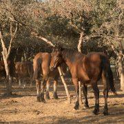 Equipirenaica – Ganado equino 12