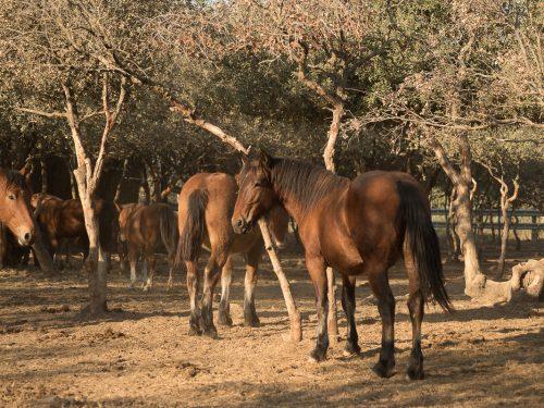 Venta de ganado equino para carne 11