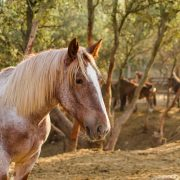 Equipirenaica – Ganado equino 11