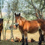 Equipirenaica – Ganado equino 10