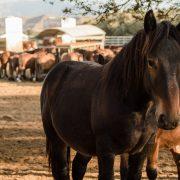 Equipirenaica – Ganado equino 9