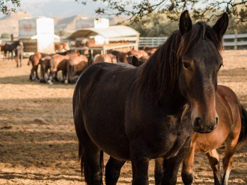 Venta de ganado equino para carne 14