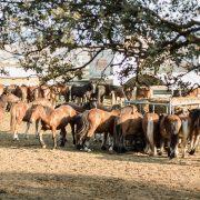 Equipirenaica – Ganado equino 8