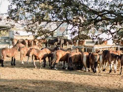 Venta de ganado equino para carne 6