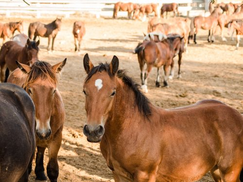 Venta de ganado equino para carne 15