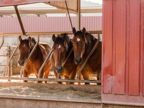 Venta de ganado equino para carne 10