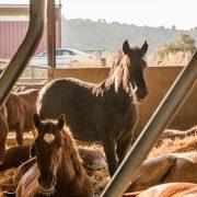 Equipirenaica – Ganado equino 5