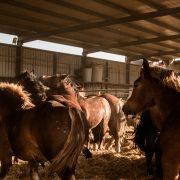 Equipirenaica – Ganado equino 3