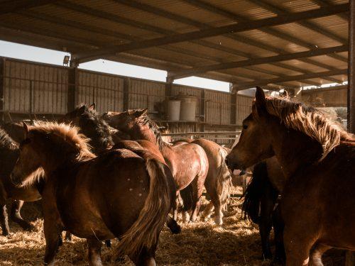 Venta de ganado equino para carne 17