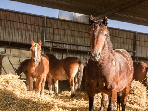Venta de ganado equino para carne 5