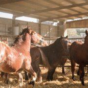 Equipirenaica – Ganado equino 4