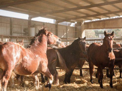 Venta de ganado equino para carne 12