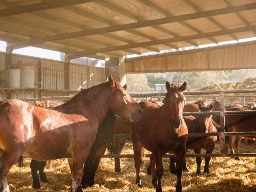 Venta de ganado equino para carne 2