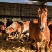 Equipirenaica – Ganado equino 1