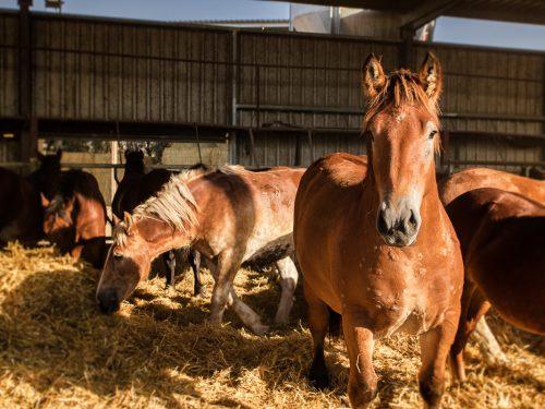 Venta de ganado equino para carne 9