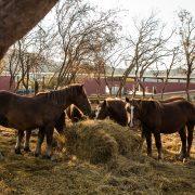 Equipirenaica – Ganado Equino 14
