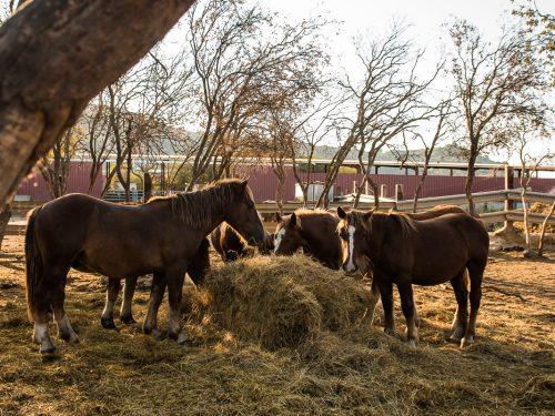 Venta de ganado equino para carne 8