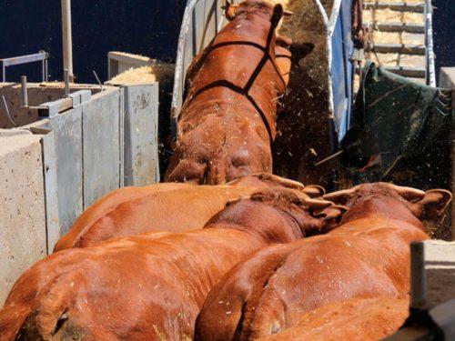 Carga de terneros en barco para exportación