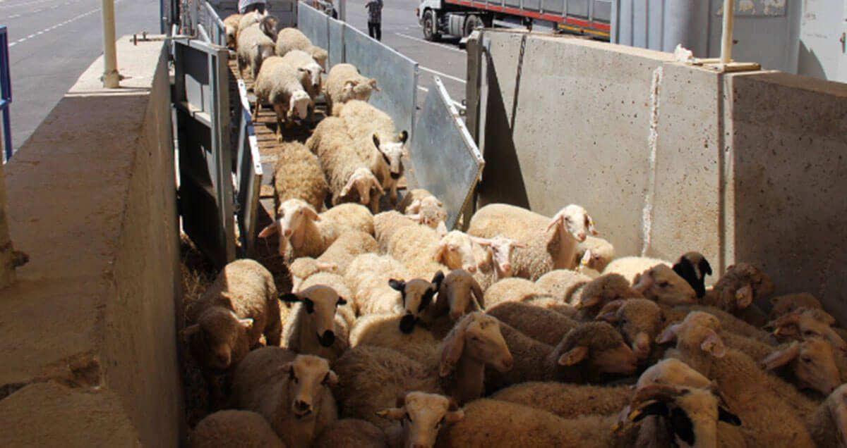 Video - Descarga de corderos del camión y carga en barco