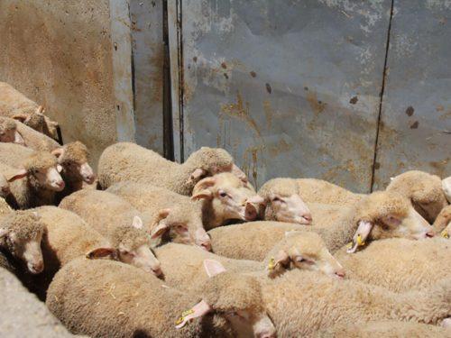 Exportación de corderos para halal