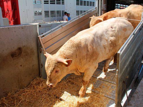 Exportación en camión o barco de ganado bovino
