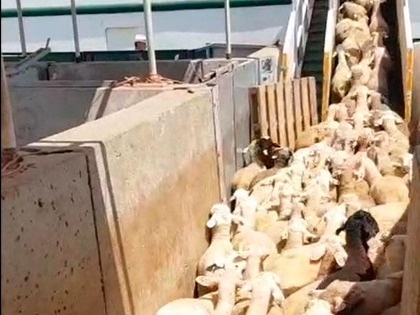 JG Global - Carga corderos en barco