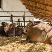 JG Global – Ganado bovino