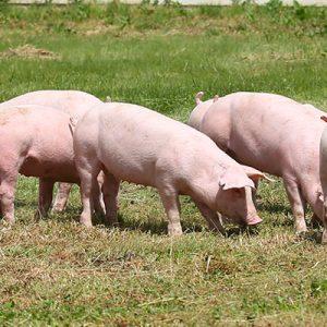 carne_porcina