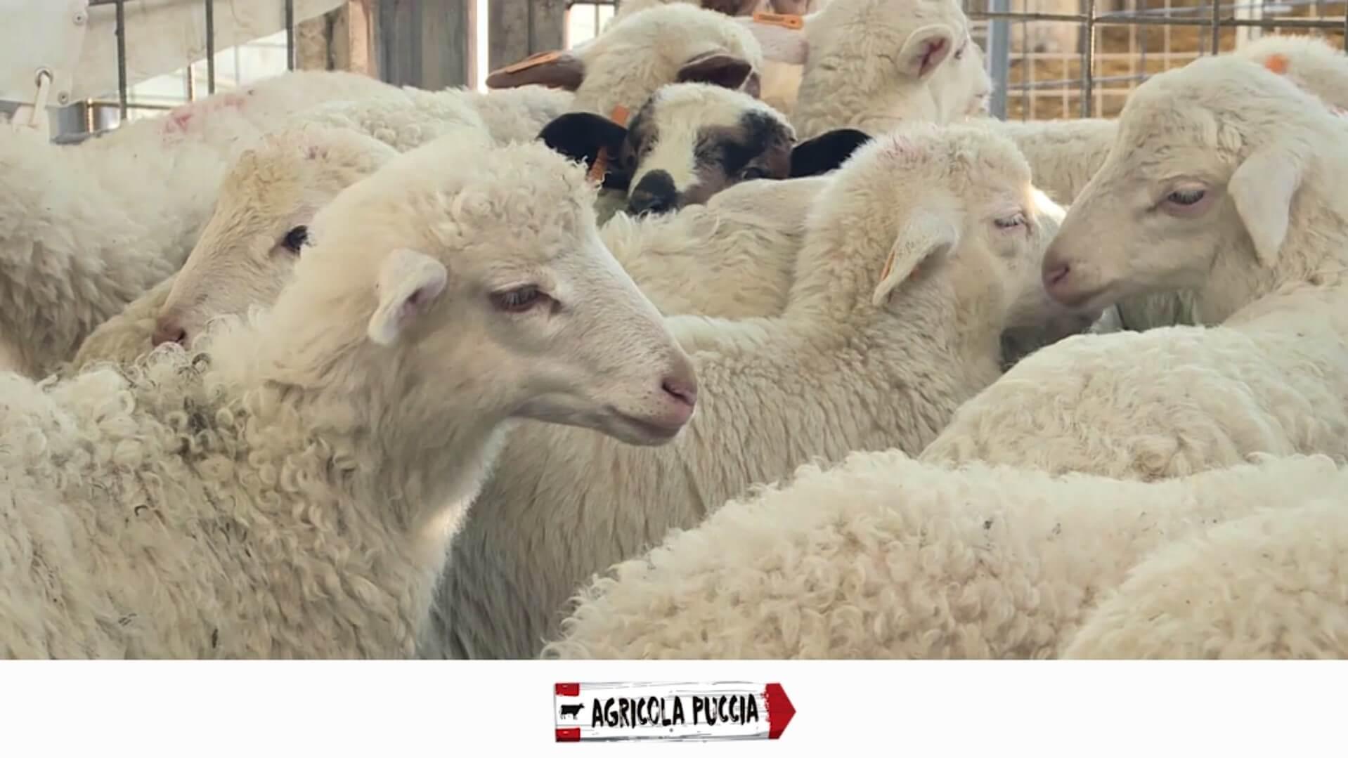 Matadero Agricola Pucci - Ovinos