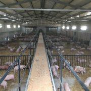 Agricola Pucci – porcinos