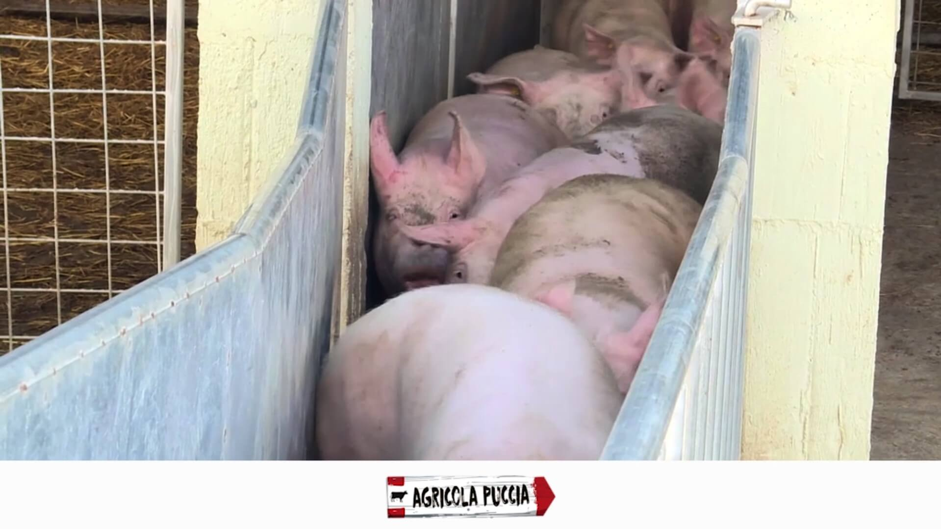 Matadero Agricola Pucci - Porcinos