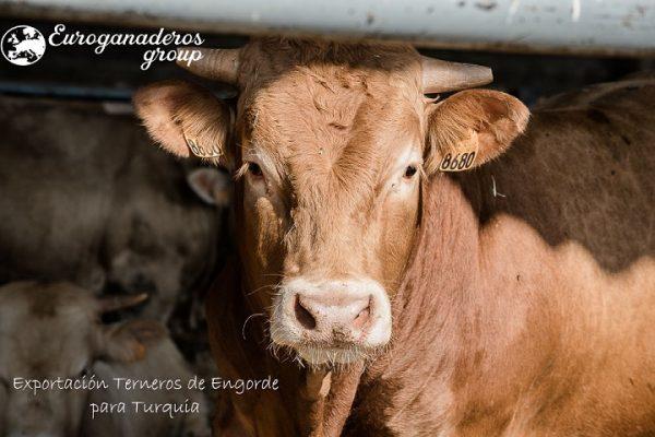 Exportación de Terneros destinados para engorde a Turquía / Exportation de veaux destinés à l'engraissement vers la Turquie
